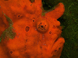 Frogfish, Secret Bay by Doug Anderson