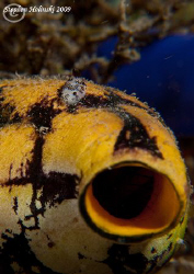 Tunicate and Tiny Nudi crawling across it!  Canon G10, du... by Stephen Holinski