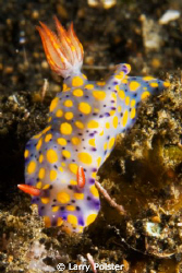 Hypselodoris kanga - Lembeh. D300-60mm by Larry Polster