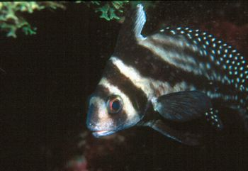 Spotted drum taken in Roatan w/NikV, 28mm w/close-up diop... by Beverly J. Speed