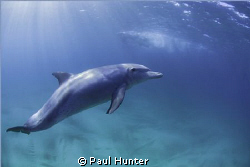 Friendly dolphin taken at Sodwana Bay, South Africa by Paul Hunter