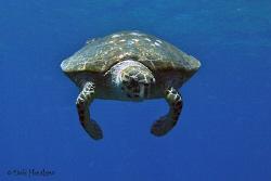 Turtle Pie anyone? by Debi Henshaw