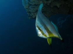 Batfish Canon G9 & Ikelite strobe by James Dawson