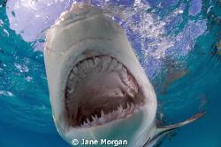 Lemon shark taken with a pole cam. by Jane Morgan