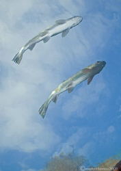 Flying fish. December 2008, D200 10.5mm. Capernwray - ... by Mark Thomas