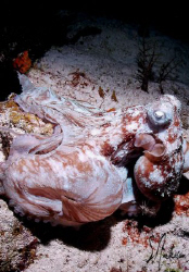 D uring a night dive on Villa Blanco Wall, this Octopus a... by Steven Anderson