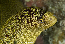 Golden Moray getting cleaned by a shrimp by Lee Arbo