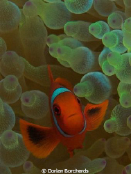 A Young Spine Cheek Anemone Fish in a Bubble Anemone Used... by Dorian Borcherds
