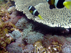 Lots of anemones, and heaps of clown fish :) Abrolhos Is... by Chloe Taylor