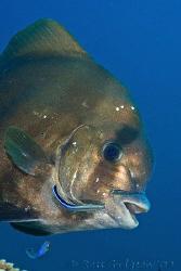 Batfish.  Ningaloo Reef, Western Australia.  Canon 40D & ... by Ross Gudgeon
