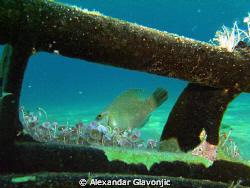 image was taken with intova ic600 no strobe,5meters depth. by Alexandar Glavonjic