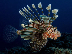 Lionfish shot late in the day Canon G9 and Ikelite strobe by James Dawson