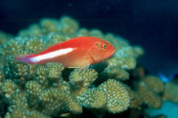 Arceye Hawkfish taken in Palau w/Nikon 90s w/105mm lens, ... by Beverly J. Speed