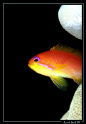 Anthias :-D by Daniel Strub