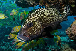 Harlequin Sweetlips.  Ningaloo Reef, Western Australia.  ... by Ross Gudgeon