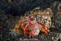 Crab on the move. D300-60mm by Larry Polster