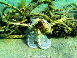 an octopus in daytime posing,pictures taken while snorkel... by Alexandar Glavonjic
