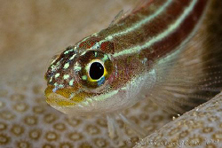 Helcogramma striata portrait.  Ningaloo Reef, Western Aus... by Ross Gudgeon