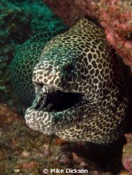 Honeycomb moray (l: Gymnothorax favagineus)  Hayuts Run... by Mike Dickson