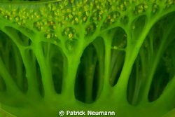 green tunicate taken with Canon 400D/Hugyfot by Patrick Neumann