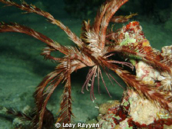 The Walking Feather Star by Loay Rayyan