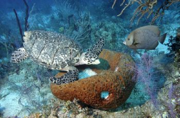 Hawksbill Turtle and Gray Angel fish sharing dinner at a ... by Victoria Collins