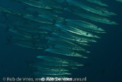 School of baracuda's, Wakatobi, Indonesia, photo taken wi... by Rob De Vries