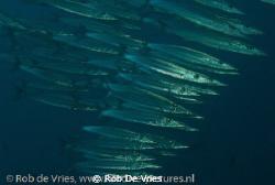 School of baracuda's, Wakatobi, Indonesia, photo taken wi... by Rob De Vries