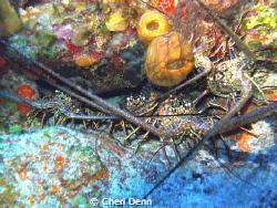 Five lobster all crammed together. by Cheri Denn
