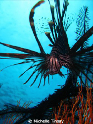 common lion fish taken with my point and shoot camera at ... by Michelle Tinsay