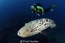 This friendly Potato Bass spent the whole die with us giv... by Paul Hunter