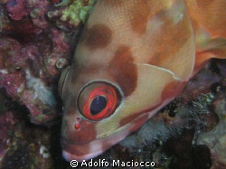 Blacktip Grouper,