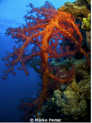 Nephtheidae Dendronephthya hemprichi. Little Brother Island. by Marko Perisic