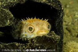 Juvenile Porcupine fish hiding in a coconut. Phote taken ... by Rob De Vries