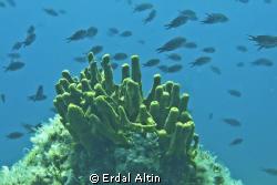 tube sponge and damselfish by Erdal Altın
