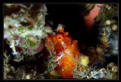 A. comersonii - orange colored and hiding in the middle o... by Daniel Strub