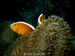 Another kind of clown fish. C7070 with epoque wide angle ... by Jun Quiblat