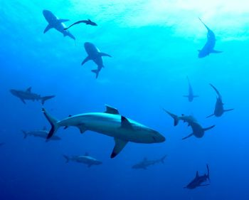 Sharks in the Coral Sea by Budd Riker