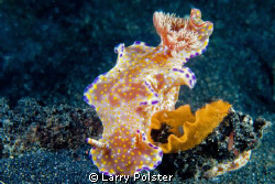 Ceratosoma tenue laying her eggs. D300-60mm by Larry Polster