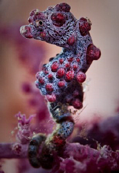 Little Pink Seahorse