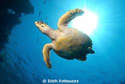 Cruising turtle.. Shark Reef, Ras Mohamed Park. Yesterda... by Erich Reboucas