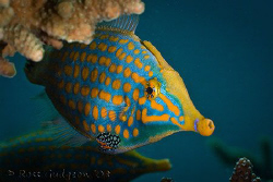 Long Nosed Filefish.  Ningaloo Reef, Western Australia.  ... by Ross Gudgeon
