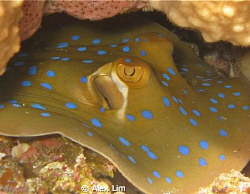 Blue spotted ray resting. Canon G9 with Inon 2000 by Alex Lim