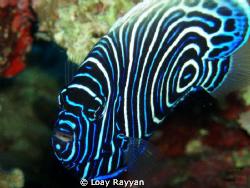 Emperor Angel Fish by Loay Rayyan