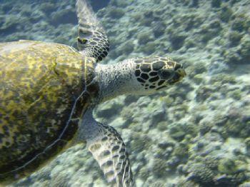 """Flying Turtle"" , Rangiroa Tahiti , Sony T1 , Auto mode by Gar Macrae"