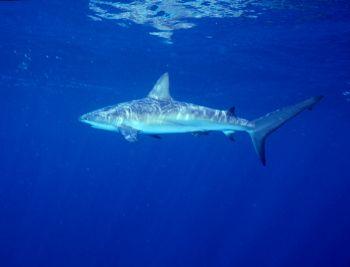 Reef shark taken in Roatan w/NikV, 15mm lens & ambient li... by Beverly J. Speed