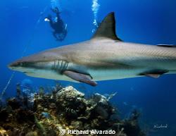 """Reef shark taken at """"Danger Reef"""" by Richard Alvarado"""