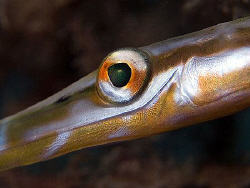 Juvenile pipefish eye. East of Dili, East Timor. by Doug Anderson