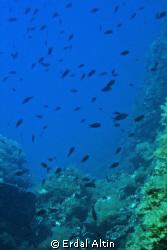 damselfishes at reef by Erdal Altın