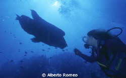 Meeting with big Napoleofish (Cheilinus undulatus)